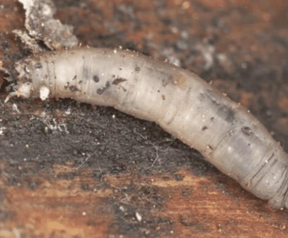 Leatherjacket Larvae
